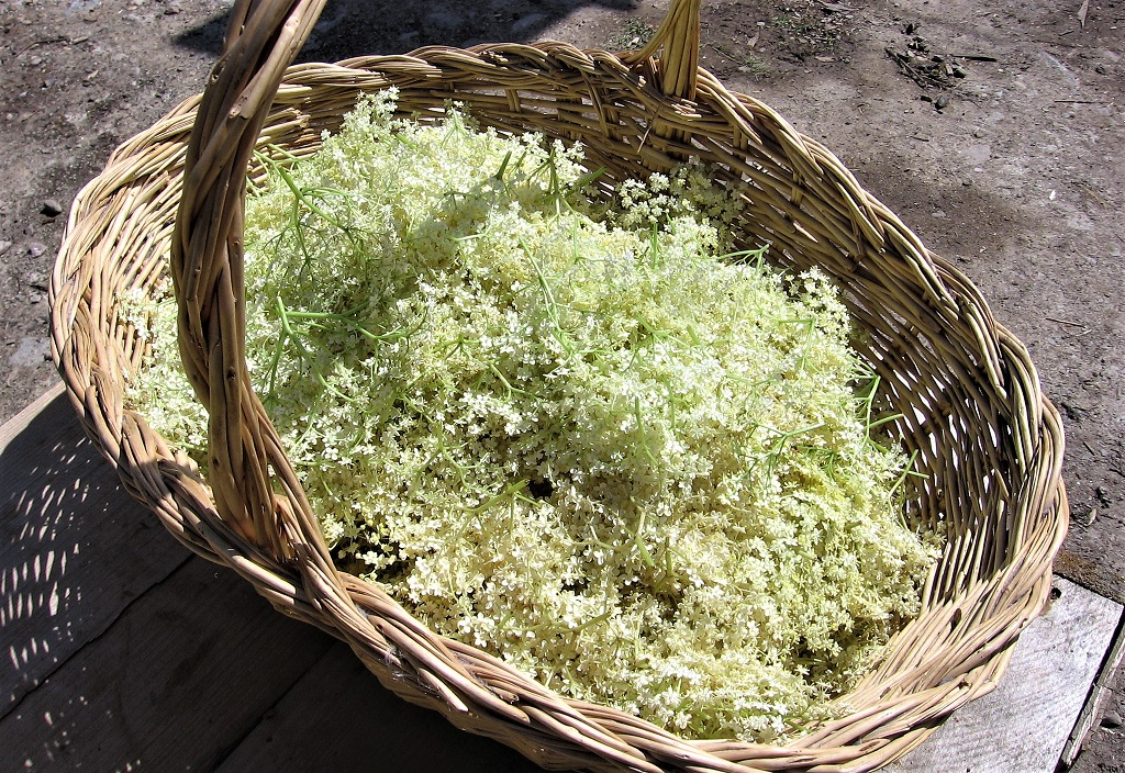 Picked_Elderflower
